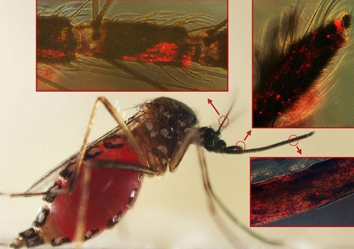 """Virus sốt xuất huyết làm muỗi """"khát"""" máu hơn"""
