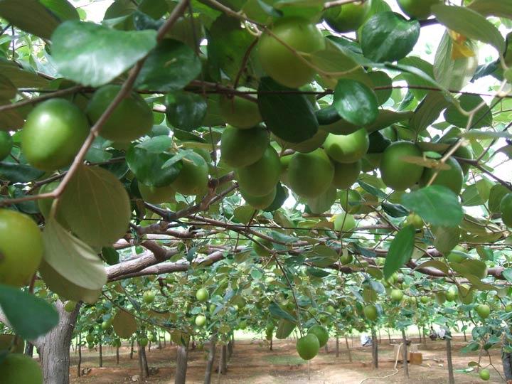 Kỹ thuật trồng táo đại