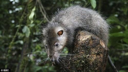 Một loài chuột khổng lồ được phát hiện tại vùng rừng mưa của Papua New Guinea.