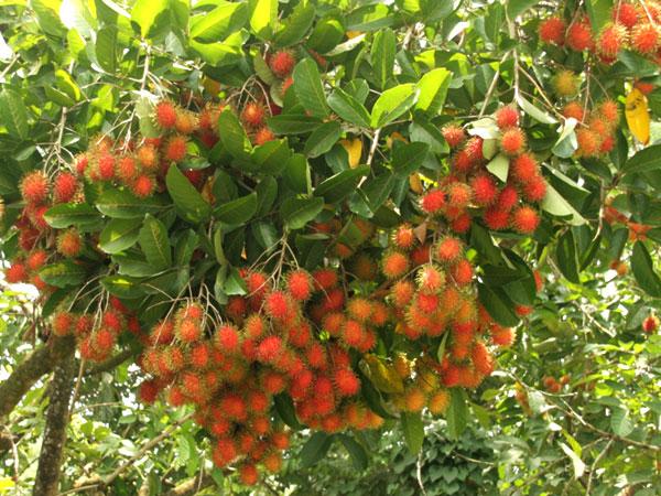 Kỹ thuật trồng chôm chôm