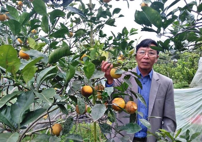 Người trồng cam Xã Đoài mất tiền triệu mỗi đêm vì chuột