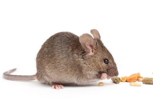 Những điều bạn chưa biết về chuột