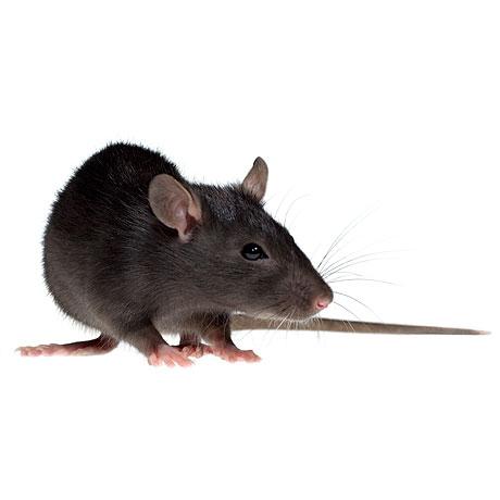 Tác hại của chuột